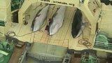 Lovci lovců velryb