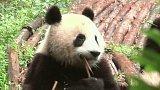 Záchrana pandy velké