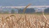 Genom pšenice