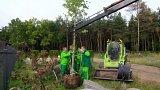 Výsadba vzrostlých okrasných stromů