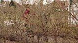 Pěstování a využití rakytníku