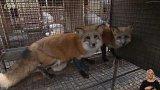 Zákaz chovu kožešinových zvířat vpraxi