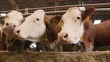 Místo řízků rezervní krávy