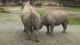 Nové mládě nosorožce ve Dvoře Králové