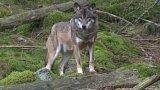 Uprchlí vlci na Šumavě