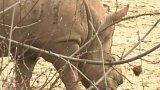 Zoo ve Dvoře Králové chrání nosorožce