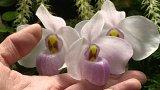 Výstava orchidejí inspirovaná Riem