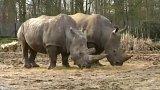 Zabíjení nosorožců kvůli rohům