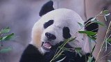 Proč je panda velká černobílá?