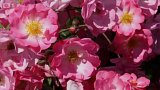 Jarní péče o růže I.