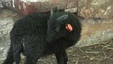 Nejmenší ovečky na světě