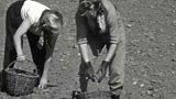 Konsolidace - sklizeň brambor v JZD Křemže