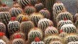 Klub kaktusářů