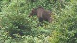 Medvědi na Moravě