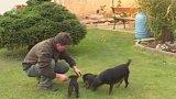 Jagdteriér - tři psi v jednom