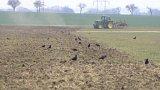 Havrani škodí zemědělcům na Chrudimsku