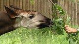 Z královédvorské zoo odvezli samce okapi