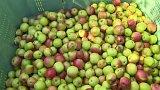 Na jihu Čech začala sklizeň jablek - úrodu zničily kroupy