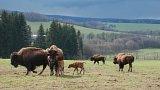 Bizoni v Halži