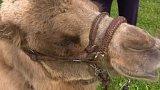 Chov velbloudů