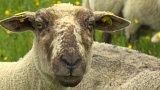 Na krkonošských loukách jsou stále častěji vidět stáda ovcí