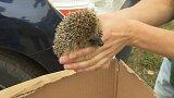 Záchranným stanicím začala ježčí sezóna