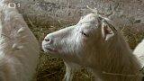 Bílé krátkosrsté kozy