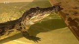 Chov krokodýlů