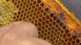 Včelaři bojují s Varroázou, med podraží