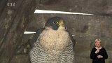 Záchranná stanice pro dravé ptáky Rajhrad