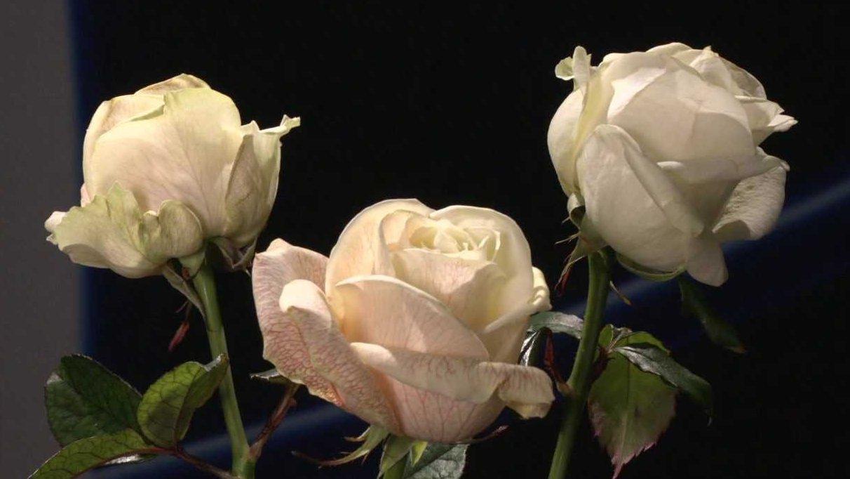 Barvení růží