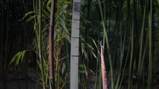 Růst bambusu