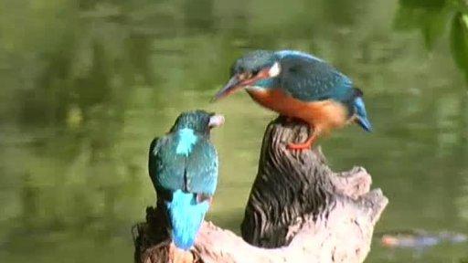 Vodní ptáci: Tyrkysový rybář