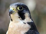 Sokol stěhovavý (Falco peregrinus) (foto: Ltshears, wikimedia.org)