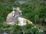 Rys ostrovid (Lynx lynx) (foto: Andreas Tille, wikimedia.org)