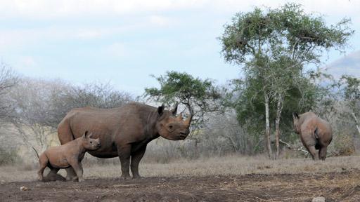 Přežili rok 2000: Nosorožec dvourohý