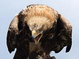 Orel královský – Aquila heliaca (foto: AngMoKio, zdroj: Wikimedia)
