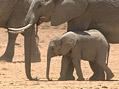 Afri�t� sloni