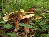 Na houby Holubinky a ryzce