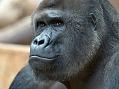 Goril� pov�d�n�
