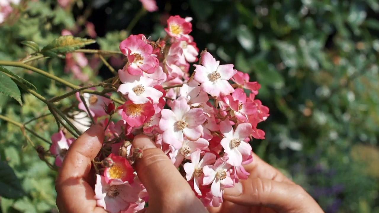 Kouzelné bylinky: Kouzelná růže