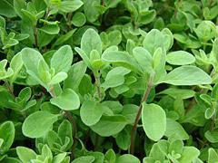 Majoránka zahradní – Origanum majorana, syn. Majorana hortensis (foto: Forest & Kim Starr, zdroj: Wikimedia)