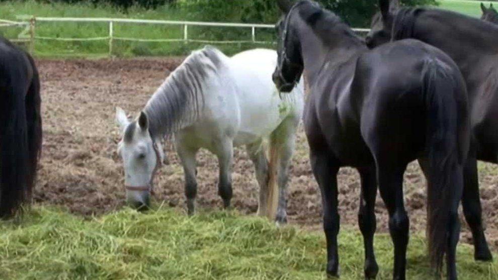Videoatlas naší přírody: Kůň domácí