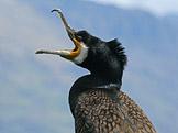 Kormorán velký – (Phalacrocorax carbo (foto: DickDaniels, wikimedia.org)