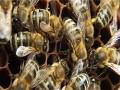Budoucnost včel