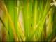 Hledání super-aromatické rýže