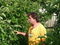 Letní řez jabloní
