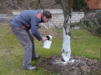 Ochrana ovocných stromů před mrazem