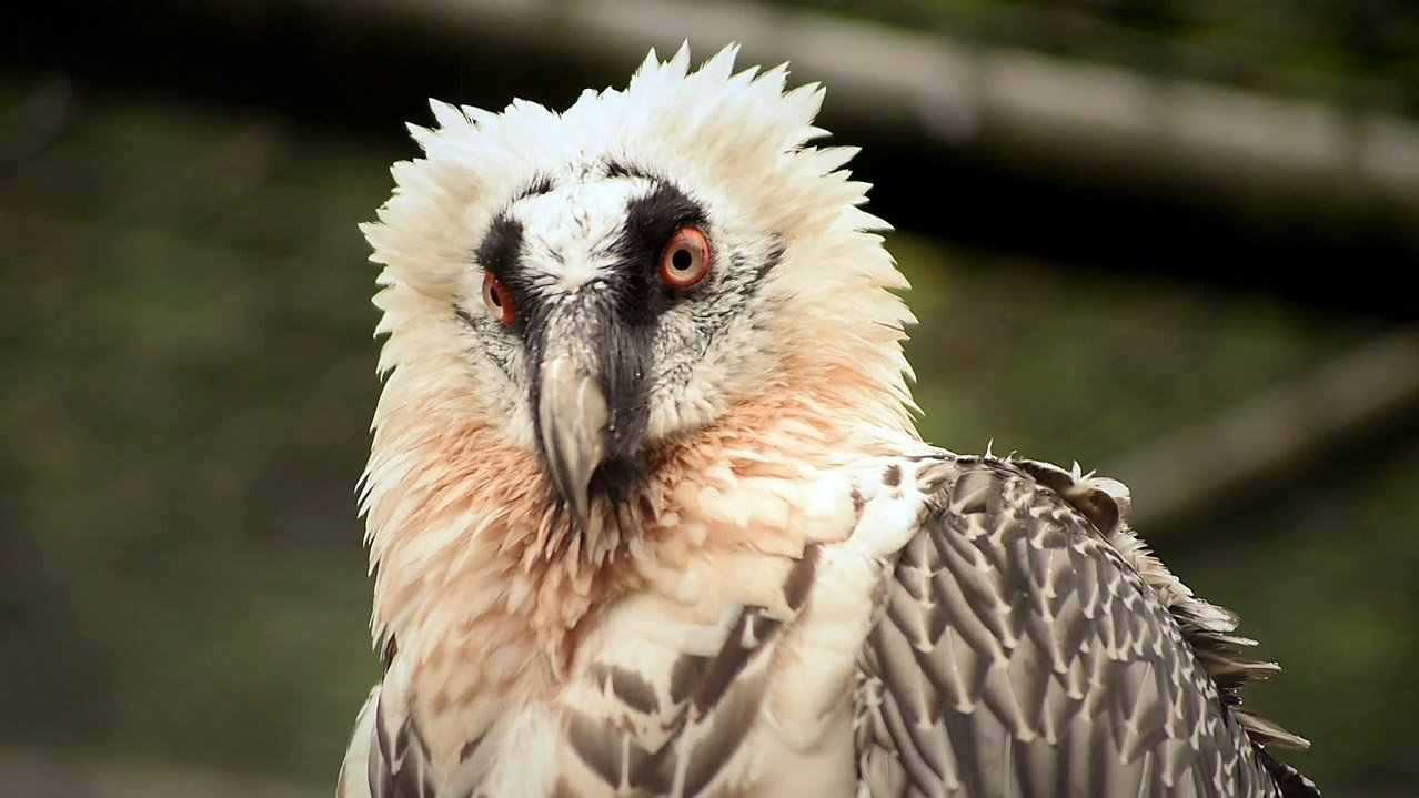 Czechs protect… bearded vultures in Europe