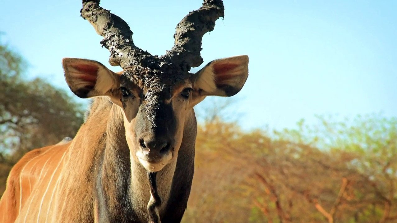 Czechs protect… elands in Senegal